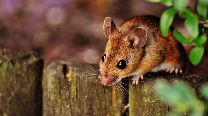 Une souris escaladant une clôture