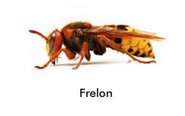 frelon asiatique image